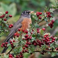 American Robin in hawthorn berries