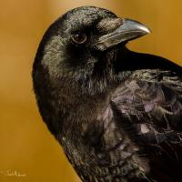 American Crow in closeup, it's head turned toward its left shoulder, feathers gleaming in the sun