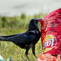 American Crow and chips