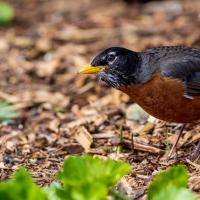 American Robin listening for worm under the ground