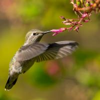 Anna's Hummingbird drinking from flower