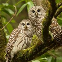 Pair of Barred Owls perched on a branch