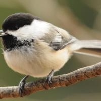 Black-capped Chickadee calling