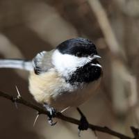 Black-capped Chickadee singing, perched on a branch in sunshine