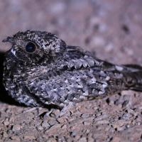Common Poorwill, male