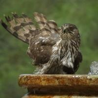 Cooper's Hawk splashing in a birdbath, its tail feathers raised and its chest feathers wet