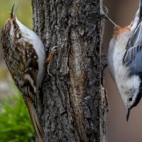 Brown Creeper and White-breasted Nuthatch