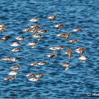 Dunlin flock in flight