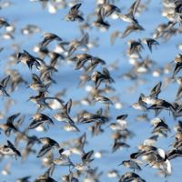 Flock of Dunlin