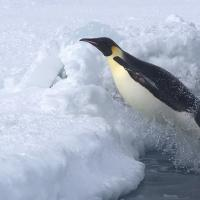 Emperor Penguin launches out of the water