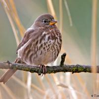 Fox Sparrow perched on a branch