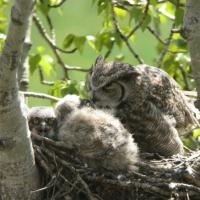 Great Horned Owl at nest with chicks