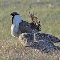 Greater Sage-Grouse at a lek
