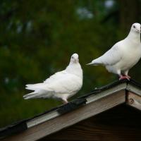 Homing Pigeons perched on a roof