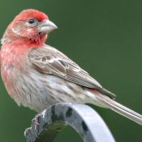 House Finch in profile, showing red-colored head and throat