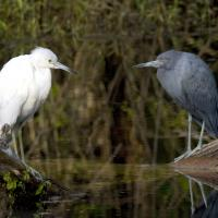 Little Blue Heron juvenile and adult