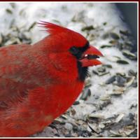 Northern Cardinal with seed