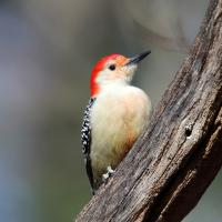 Red-bellied Woodpecker perched on branch, its head turned to its left