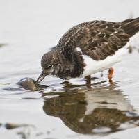 Ruddy Turnstone turning over a stone on the shore