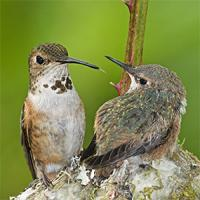 Rufous Hummingbird at nest with her chick