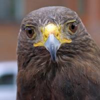 "Harris Hawk ""Rufus"""
