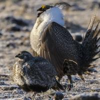 Greater Sage-Grouse pair