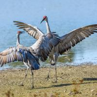 "Two Sandhill Cranes leaping and ""dancing"" in courtship display"