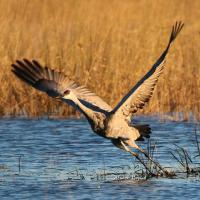 Sandhill Crane taking off at Sherburne National Wildlife Refuge