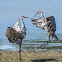 Sandhill Crane pair doing their leaping dance