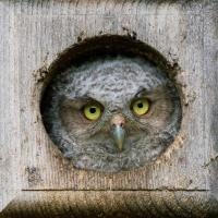 Screech Owlet in nestbox
