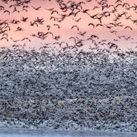 Massive flocks of Snow Geese taking off from the Rainwater Basin area at sunrise, pink sky in background