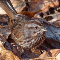Song Sparrow foraging in leaves