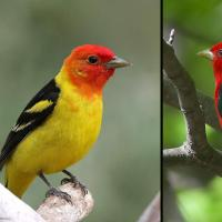A Western Tanager with bright yellow plumage and red head on the left, a Scarlet Tanager with red body and black wings on the right.