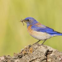 Western Bluebird with insect in beak