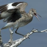 Willet perched on a branch and calling