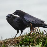 American Crows allopreening