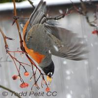 American Robin fluttering on a branch to eat berries