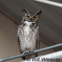 Great Horned Owl perched on railing in urban area