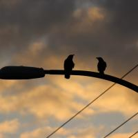 Crows on street light