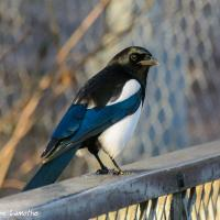 Eurasian Magpie in the sunshine, seen in right profile, perched on a fence; it's crisp black, blue and white plumage shining