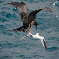 Frigatebird attacks Tropicbird