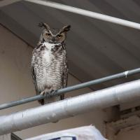 Great Horned Owl in urban area