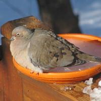 Mourning Dove at frozen birdbath