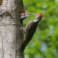 Pileated Woodpecker nest with parent and chicks