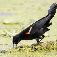 Red-winged Blackbird gaping its beak while foraging
