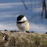 Black-capped Chickadee eating seeds