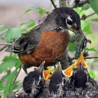 American Robin feeding earthworm and caterpillars to her chicks