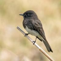 Black Phoebe by Mick Thompson