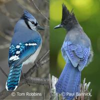 Blue Jay and Steller's Jay