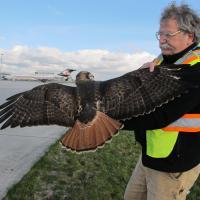 Bud Anderson helping safely remove a Red-tailed Hawk from airport area